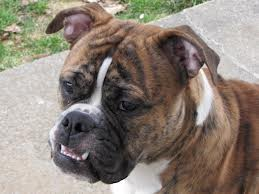brindle bulldog.jpg